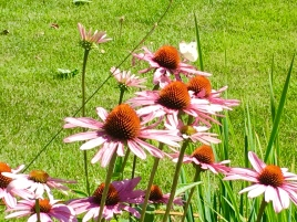 Cone flowers and butterflies