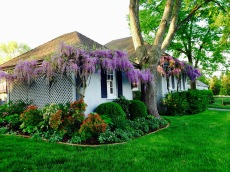 The wisteria in full bloom on the back of the bunk house and garage.