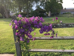 Clematis on the pool fence