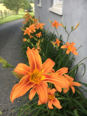 Day lillies lining the driveway
