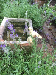 Stone bird bath/dog bowl near the lavender in the herb bed