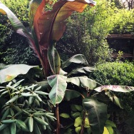 Banana plants from friend Jan, who raised them from seed for her daughter's wedding.