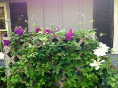 The clematis that inspired the opening lines of my memoir