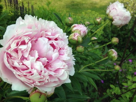 My grandmother's peony's long-blooming every year since the 40's