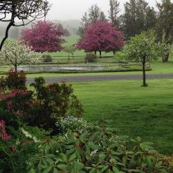 A pair of pink flowering cherries in spring