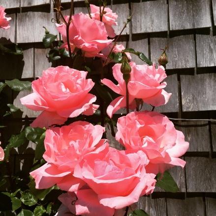 Nantucket New Dawn roses