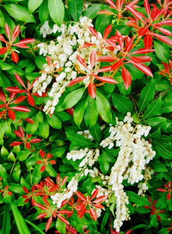 "Pieris Japonica"" fire cracker"" in the smoke house bed"