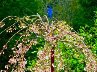 There are load of bluebirds on the farm, which I am sure is why I'm so happy there!