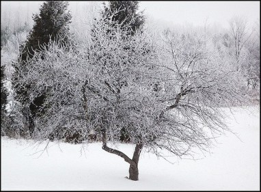 looming icy tree