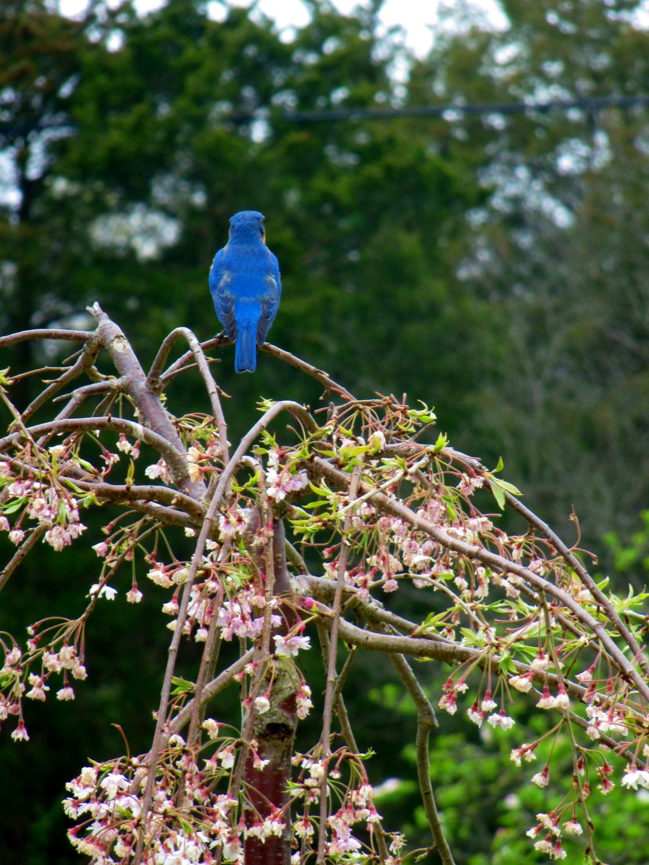 spring blooms april 2012 088